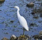 Snowy Egret Stock Image