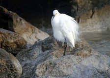 Snowy egret fluffed up Stock Image