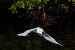 Snowy Egret Flying Royalty Free Stock Photos