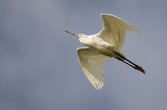 Snowy Egret Flying in Blue Sky Royalty Free Stock Photo