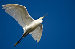 Snowy Egret Flying in a Blue Sky Stock Photography