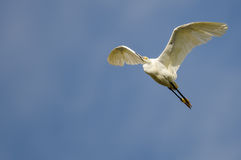 Snowy Egret Flying in Blue Sky Royalty Free Stock Images