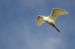 Snowy Egret Flying in Blue Sky Stock Images