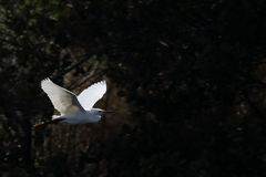Snowy egret flying in front of dark bushes Royalty Free Stock Image