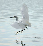 Snowy Egret Flying In Bolinas Lagoon Stock Photos