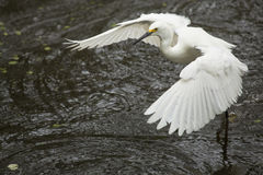 Snowy egret flying low over pond in the Florida Everglades. Royalty Free Stock Photography