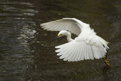 Snowy egret flying low over pond in the Florida Everglades. Royalty Free Stock Photo