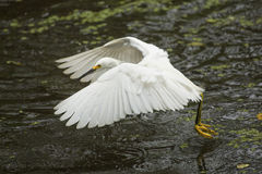 Snowy egret flying low over pond in the Florida Everglades. Royalty Free Stock Photos