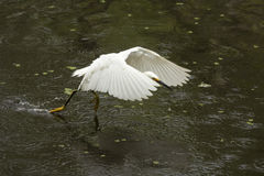 Snowy egret flying low over pond in the Florida Everglades. Stock Images
