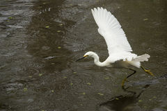 Snowy egret flying low over pond in the Florida Everglades. Royalty Free Stock Images