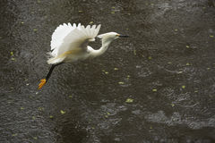 Snowy egret flying low over pond in the Florida Everglades. Royalty Free Stock Image