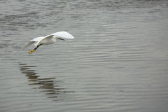 Snowy egret flying low over shallow water in Florida. stock photography