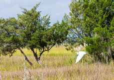 Snowy Egret Flying Over Marsh Stock Photo