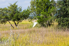 Snowy Egret Flying Over Marsh Stock Photography