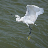 SNOWY EGRET FLYING OVER THE SEA Royalty Free Stock Images