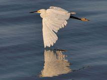 Snowy Egret Flying tip touch Royalty Free Stock Image