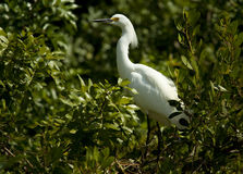 Snowy egret in foliage. Portrait of a snowy egret standing in a bush. Photo taken in Nassau Bahamas Stock Photos