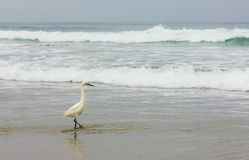 A Snowy Egret Foraging on a Beach Stock Photography