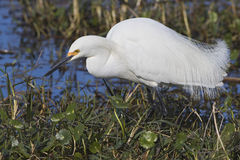 Snowy Egret Foraging in a Florida Marsh Stock Images