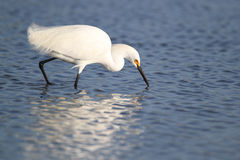 Snowy Egret Foraging for Food Royalty Free Stock Photography