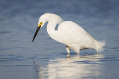 Snowy Egret Foraging in a Tidal Lagoon - Florida Stock Photography