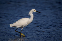Snowy Egret at Fort De Soto State Park Royalty Free Stock Photos
