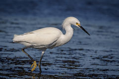 Snowy Egret at Fort De Soto State Park Royalty Free Stock Image