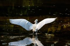 Snowy Egret Starting to Fly Stock Photo