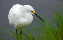 Snowy Egret between grass Royalty Free Stock Photography