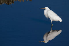 Snowy Egret. A snowy gret resting in the salt marsh Stock Images