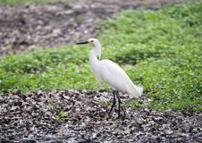 Snowy Egret on the ground Royalty Free Stock Photo