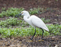 Snowy Egret having a meal Stock Photo