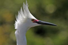 Snowy egret head shot. Taken in florida Royalty Free Stock Photo