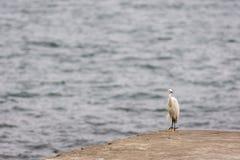 Snowy Egret Heron bird Royalty Free Stock Photos
