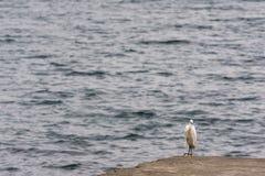 Snowy Egret Heron bird Stock Photography