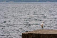 Snowy Egret Heron bird Stock Images