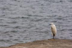 Snowy Egret Heron bird Stock Image