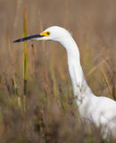Snowy Egret Hunting Royalty Free Stock Image