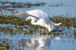 Snowy egret hunting. For fish royalty free stock photo