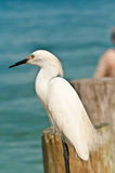 Snowy egret hunting for food. Snowy egret standing on a wood piling focused along shoreline, hunting for food with a surf fisherman in background in the waters royalty free stock images