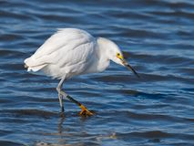 Snowy Egret Hunting in the Marsh.  stock image