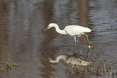 Snowy Egret Hunting for Prey. Along Slow Moving Suwannee River in Stephen C. Foster State Park in the Okefenokee Swamp in Georgia stock photography
