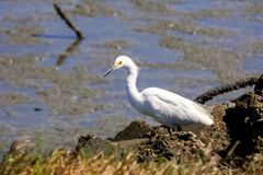 Snowy egret hunting on the shoreline of Baylands Park, Palo Alto, south San Francisco bay area, California stock photos