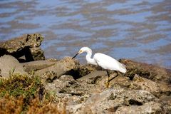 Snowy egret hunting on the shoreline of Baylands Park, Palo Alto, south San Francisco bay area, California royalty free stock photo