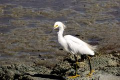 Snowy egret hunting on the shoreline of Baylands Park, Palo Alto, south San Francisco bay area, California royalty free stock photos