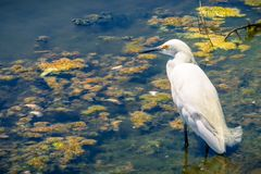 Snowy egret hunting at the Shoreline Park and Lake, Mountain View, California. Water surface covered in algae and plants in the background Royalty Free Stock Image