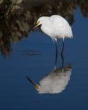Snowy Egret. A snowy egret hunting in a South Carolina salt marsh Stock Photos