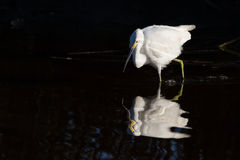 Snowy Egret Hunting. A snowy egret hunting in a South Carolina salt marsh Royalty Free Stock Images
