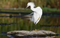 Snowy Egret Royalty Free Stock Image