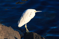 Snowy Egret royalty free stock photos